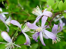 Herbaceous perennial clematis in different colours