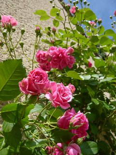Shrub roses in front of a house wall