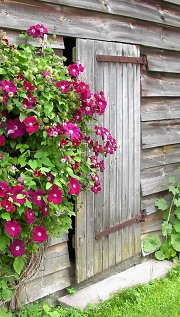 Old lap siding with clematis