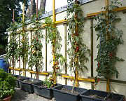 Tomato espalier on a wall