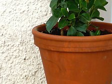 Climbing plants in pots