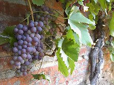 Grape yield on a trellis wall