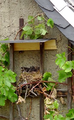 Birds in the House: Young blackbirds in trellising