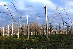 Pruning in a vineyard