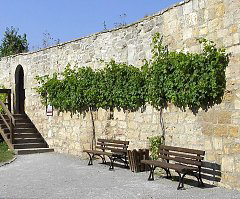 Grapevine on a wall