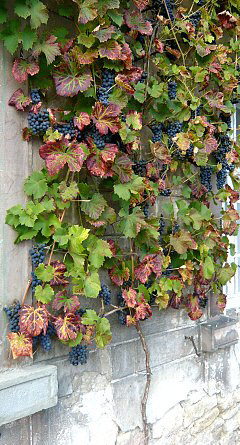 Grapes on an espalier