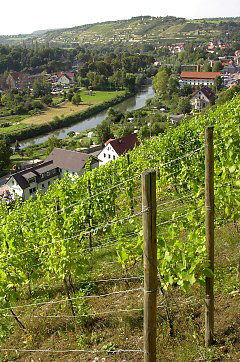Vineyard near Freyburg / Unstrut / Germany
