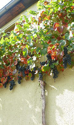 Grape harvest on an espalier