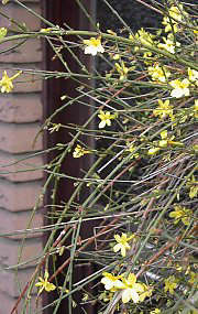 Winter jasmine with blossoms