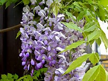 The wisteria is popular for its abundance of flowers and vigorous growth as a twining climber. Has been used in Asian garden art for centuries.