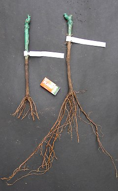 Bare-root vines