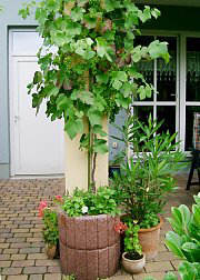 climbing plants in tubs and pots selection cultivation and winter protection. Black Bedroom Furniture Sets. Home Design Ideas