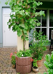grapevine in a pot