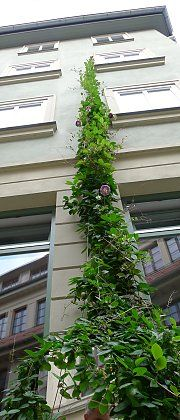 Cobaea scandens, high growing climbing vine