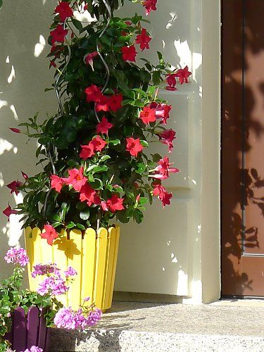 Red mandevilla as a potted plant at a house entrance