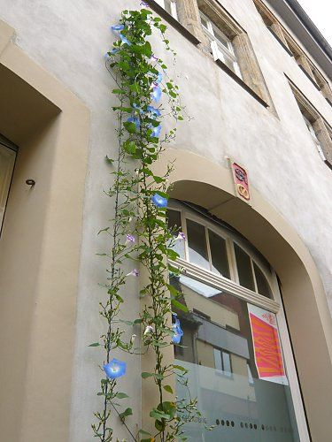Facade greening with Ipomoe violacea (tricolor)