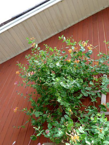 Goldflame honeysuckle on a wooden house