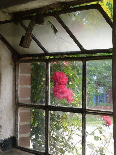 Red climbing rose in front of an old cowshed