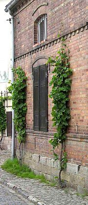 Facade greening with vertical grapevine cordons