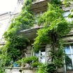 Balcony greening with very old wisteria