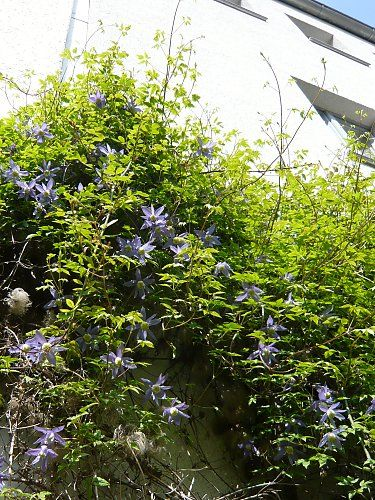 Clematis atragene on a house facade, flowers are fading (steel blue)