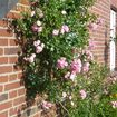 Whether roses are suitable for walls or not often depends on the position of the flowers or flower clusters. Those with flowers that grow straight upright are usually not suitable for facades.
