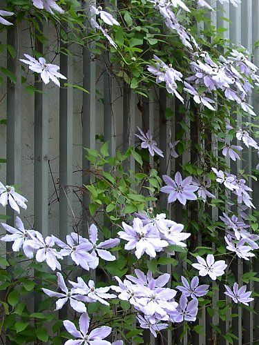 Clematis hybrids on a wood espalier