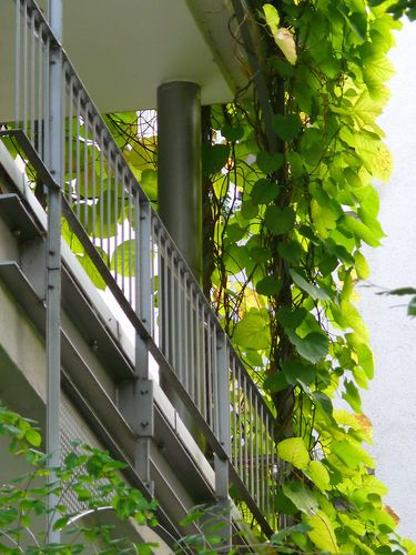 "American Dutchman's Pipe ""Aristolochia macrophylla"" led along a balcony post"