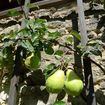 Espalier pears were often a main feature in aristocratic fruit gardens.