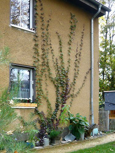 Self-climbing Cobaea scandens on a house wall