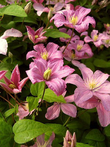 "Pink clematis ""Comtesse de Bouchaud,"" photo from A. Tolksdorf"