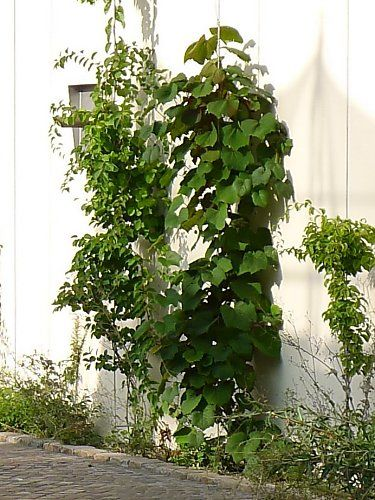 Young Japanese ornamental vine (Crimson Glory) and other vines