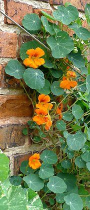 Wall with garden nasturtium