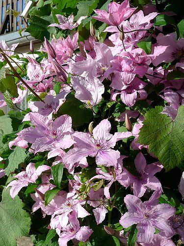 "Clematis ""Hagley Hybrid"" in between grapevine"