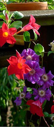 "Mandevilla ""Red"" and clematis ""Ashva"" on a balcony"
