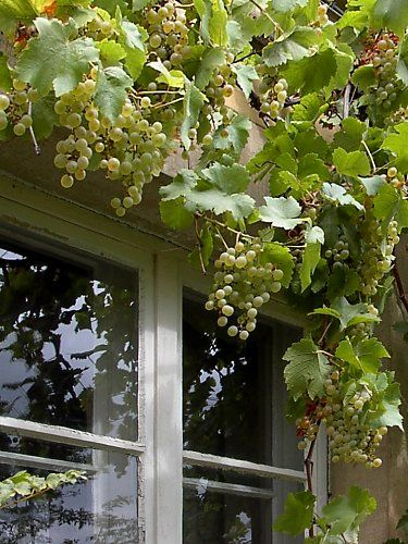 Not only children are attracted to grapes on a façade!