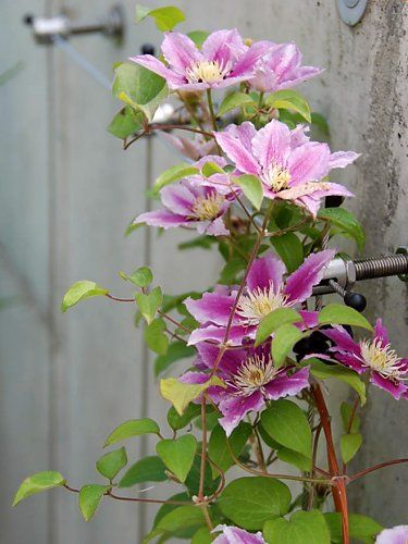 Clematis on a wire rope trellis in medium construction style