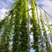 Temporary lattice construction from scaffolding poles as trellis support for hops; student project, Weimar/Thuringia