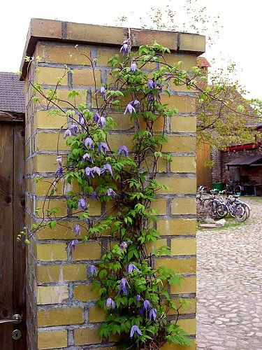 Clematis alpina on a mast, wild variety with only four petals and flowers that won't open entirely