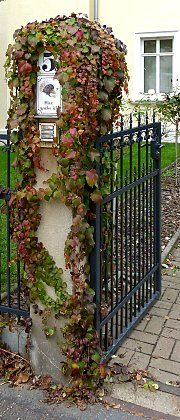 Mini creeper vine on a gatepost