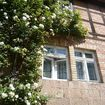 Large climbing rose on a house wall