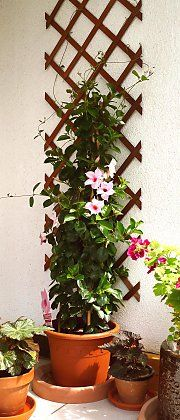 "Small trellis with diamond shaped fields with Mandevilla ""Cream Pink"""