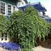 This lush cascading/overhanging plant creates an arbour beneath the balcony