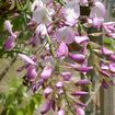 A pink wisteria variety
