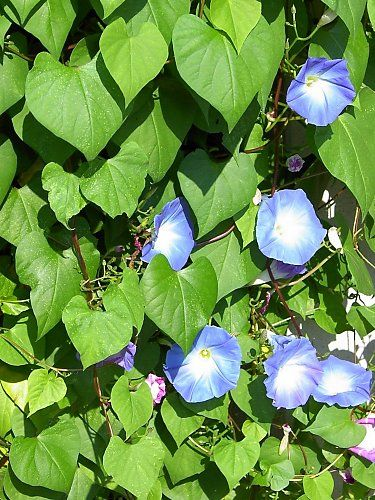 Several morning glories next to each other