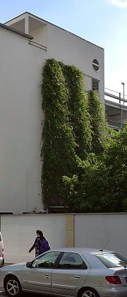 Three vertical greened trellises with Polygonum aubertii
