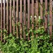 Fence with Humulus lupulus in spring