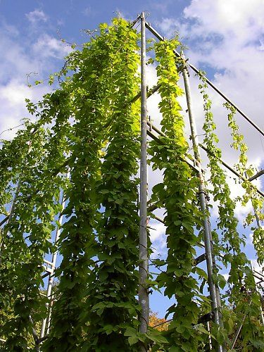 Greening project with golden hops