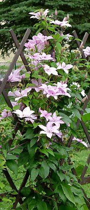 "Clematis ""Hagley Hybrid"" on a fence"