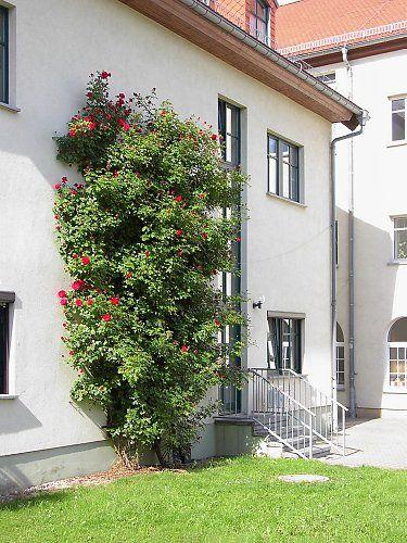 rosier grimpant palissage sur la facade